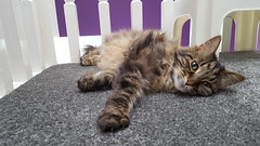 2018-06-29 Daisy the cat (graeme9022) Tags: norwegian forest cat tabby small stripes brown vocal loving animal