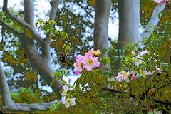 Roses and Gum Tree! (maginoz1) Tags: flowers roses gumtree abstract art contemporary manipulate curves render spring october 2018 alisterclarkrosegardenbulla bulla melbourne victoria australia
