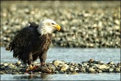 Diner...... (KevinBJensen) Tags: water bird pelican sanibel island scavenger heron wingspan shoal wader cormorant waterfowl raptor eagle