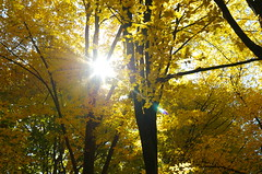 Autumn sun (Baubec Izzet) Tags: baubecizzet pentax light autumn nature trees leaves yellow