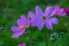 Colorful Flowers (Eckehard Straßweg) Tags: fujifilmxt2 nature natur flowers garten garden gras blumen oktober autumn herbst grün green outdoor bokeh
