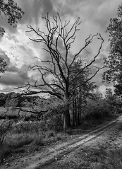 Kootwijkerzand 1 (Rens Timmermans) Tags: canon5dmk3 sigma1224f4556dg blackwhite niksilverefexpro nationalgeographic ngc natuur bos bomen