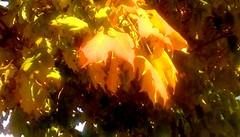 Maple leaves in sunlight! (Maenette1) Tags: maple leaves sunlight yellow menominee uppermichigan flicker365 allthingsmichigan absolutemichigan projectmichigan autumninmichigan