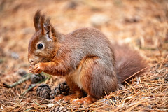 Red squirrel (Steve Samosa Photography) Tags: pineforest woodlands formby nature wildlife squirrel redsquirrel liverpool england unitedkingdom gb