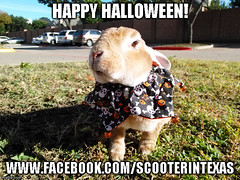 Happy Halloween From Scooter (tammybeck) Tags: scooter rescuedrabbit lapin scooterintx specialneedsrabbit rex krolik hassen conejo coniglio bunny kaninchen