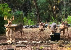 The Bachelors (peggydaly) Tags: shavano park texas san antonio white tailed deer bucks racks