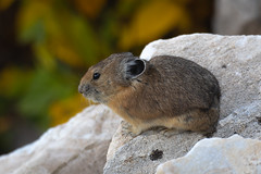 Pika and Fall Colors (mstrozewski1) Tags: photography nature utah wildlife animal pika fall autumn rock brown white black tan