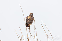 Red Tailed Hawk pays a visit