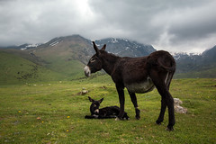 Ânesse et son petit - Donkey and her child (Nicolas Rouffiac) Tags: âne ânes ânesse ânon petit bébé bb baby child children animal animals animaux donkey donkeys montagne mountain montagnes mountains pyrénées pyrenees