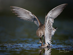 Battle of the sandpipers (ilana.block) Tags: