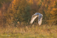 Snowy Owl - Autumn sunrise D85_6071.jpg (Mobile Lynn) Tags: birds autumnal owls snowyowl nature autumn bird fauna strigiformes wildlife nocturnal rimavskásobota banskábystricaregion slovakia sk coth specanimal ngc coth5 npc