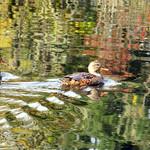 Wild Ducks thumbnail