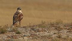 Ferruginous Hawk (Bill G Moore) Tags: ferruginoushawk birdofprey naturephotography raptor wild wildlife canon laramie wyoming grass