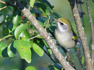 first fall female Golden-winged Warbler