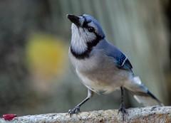 Not Camera Shy (ACEZandEIGHTZ) Tags: blue jay nikon d3200 backyard birdwatcher nature cyanocitta cristata avian bokeh coth coth5 sunrays5