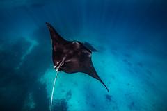 Banking    LEI (David Marriott - Sydney) Tags: bogie queensland australia au lady elliot island great barrier reef manta ray