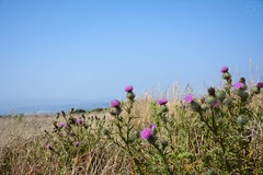 Prickle (LauraJSwindle) Tags: westcoast ca 2018 northerncalifornia bay beach pacificocean nature pointreyesnationalseashore foliage fleur flora flower thistle prickly ocean grass botanical purple green sky weeds wantaghfairfield nyca usa