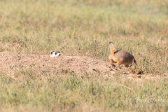 Prairie Dog runs off quickly
