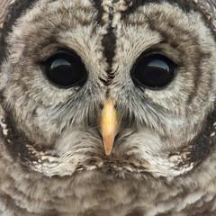 Happy Owloween! (T L Sepkovic) Tags: happyhalloween halloween owloween trickortreat owl barredowl portrait wildlife wildlifephotography canon 5dmkiv birdsofprey raptor