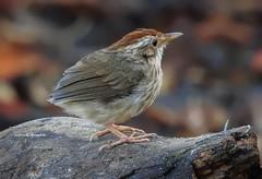 Puff-throated Babbler (PakSu KamaPhoto) Tags: bird birds nature babbler