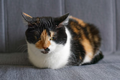 *** (donnicky) Tags: cat closeup domesticanimal frontview home indoors lying oneanimal pet publicsec sofa лилу