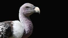 Sperbergeier (karinrogmann) Tags: avvoltoiodirueppell rüppellsvulture sperbergeier