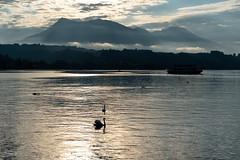 Sunrise on Lake Lucerne (pa_cosgrove) Tags: lucerne switzerland sunrise swan reflections sony a73 clouds mist mountains cloudsstormssunsetssunrises