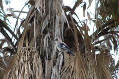 Eurasian Jay (Enzo_MG) Tags: eurasian jay bird birdwatching natur nature