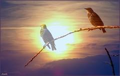 Stars d'un soir ! (Armelle85) Tags: extérieur nature sunset coucherdesoleil ciel oiseaux sansonnet lumière nuage