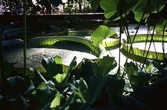 The pond in the glasshouse (knautia) Tags: pond waterlily lilypad glasshouse bristoluniversitybotanicgarden bristol england uk september 2018 film ishootfilm olympus xa2 olympusxa2 kodak ektar 100iso nxa2roll78 botanicgarden
