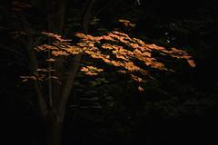 First autumn leaves (Pascal Riemann) Tags: ruhrgebiet dortmund deutschland baum herbst rombergpark blatt natur pflanze autumn fall germany nature plant
