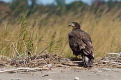 Bald eagle (ricmcarthur) Tags: haliaeetusleucocephalus baldeagle beach pontoon rondeau ricmcarthur rickmcarthur rondeauric