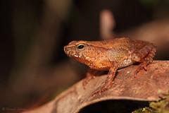 Ingerophrynus quadriporcatus (Fernando_Iglesias) Tags: toad sapo bako national park sarawak borneo herping amphibians