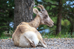 Taking a Rest (Samantha Decker) Tags: ab alberta banffnationalpark canada canadianrockies canoneos6d lakeminnewanka parkscanada rockymountains samanthadecker tamronsp150600mmf563divcusd sheep telephoto
