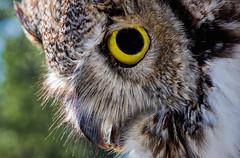 Wisdom in the Eyes (Vanessa wuz Here) Tags: 90mm owl macro details feathers eyes taxidermy copyrightvanessabartosek cof039mchi cof039patr cof039uki cof039dmnq cof039cott cof039ally