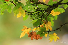 Autumn colours (~ **Barbara ** ~) Tags: autumn trees leaves red yellow green falling countryside nature canon7dii autumnwatch springwatch