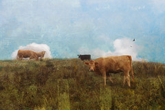 On the Edge of it All (Distressed Textures) Tags: distressedtextures cheryltarrant clouds cows textures textured tennessee pasture