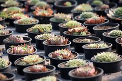 _A9A0153 (gaillardou) Tags: serres municipale toulouse fleur plante automne feuille flower plant green culture plantation