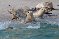 The Inbetweeners (Tim Melling) Tags: halichoerus grypus atlantic gray grey seal northumberland timmelling
