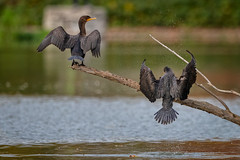 DoubleDeuce (jmishefske) Tags: 2018 wisconsin d850 cormorant nikon lagoon westallis pond bird greenfield october park milwaukee doublecrested county water