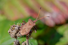 Slender-Horned Leather Bug (Linda Martin Photography) Tags: dorset wildlife macro nature bird bug insect slenderhornedleatherbug ceraleptuslividus longhamlakes uk animal naturethroughthelens coth alittlebeauty coth5 ngc npc