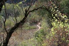 Buckeye and Wild Grape (brian dean bollman) Tags: sonomacountyca riverfrontpark sapindaceae aesculus aesculuscalifornica buckeye