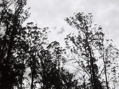 Trees in black and white look cool (Matthew Paul Argall) Tags: kodakpazzazz fixedfocus 110 110film subminiaturefilm lomographyfilm 100isofilm blackandwhite blackandwhitefilm grainyfilm tree trees