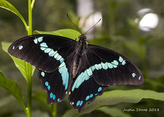 Brookside Butterfly 2018-13 (strjustin) Tags: butterfly beautiful macro insect bug