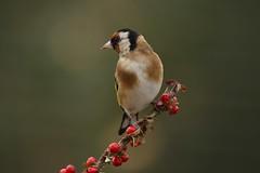 Goldfinch (Chris*Bolton) Tags: goldfinch goldfinches bird birds nature wildlife avian tree berries rathdrum wicklow ireland