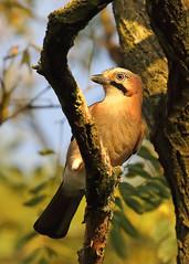 Jay (Treflyn) Tags: jay bird last autumn fall october sunlight back garden earley reading berkshire uk