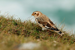 IMG_3041 (monika.carrie) Tags: monikacarrie wildlife scotland isleoflewis snowbunting