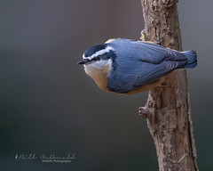 Red-bresated Nuthatch (Bill McDonald 2016) Tags: trees nuthatch redbreasted ontario october fall autumn perched perching look billmcdonald wwwtekfxca nature wildlife photography