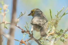 Verdin (Auriparus flaviceps) (byjcb) Tags: gnatcatcher birds henderson nevada unitedstates us