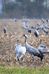 Grus grus (moritz k.) Tags: günzersee mecklenburgvorpommern mecklenburgwesternpomerania crane grusgrus kranich kranorama